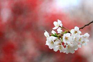 満開の桜の花のクローズアップ写真の写真素材 [FYI04684018]