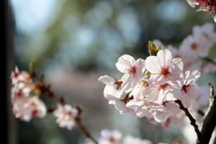 満開の桜の花のクローズアップ写真の写真素材 [FYI04684023]