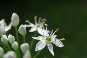 路傍の白い小さな花の写真素材 [FYI04684049]