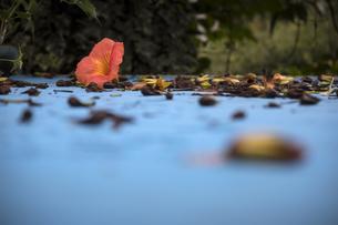 青いトタン屋根に落ちた花の写真素材 [FYI04684108]
