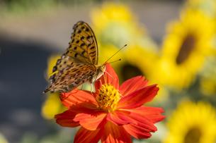 赤い花の蜜を吸うツマグロヒョウモンの写真素材 [FYI04684138]