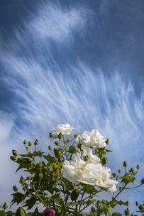 筋雲と開花したスイフヨウを仰ぎ見るの写真素材 [FYI04684146]