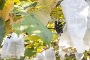 家庭菜園の葡萄棚の写真素材 [FYI04684147]