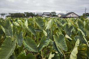 里芋畑の写真素材 [FYI04684148]