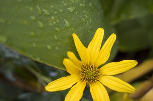 雨粒に群れる葉っぱとヘリオプシスの写真素材 [FYI04684173]