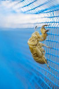 青いネットに残る蝉の抜け殻の写真素材 [FYI04684175]