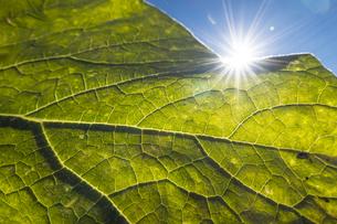 葉っぱを透かして顔を出す日差しの写真素材 [FYI04684176]