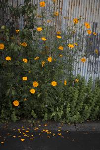 途端壁の脇で咲く秋の花の写真素材 [FYI04684181]