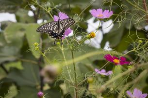 コスモスの花の蜜を吸うアゲハ蝶の写真素材 [FYI04684189]