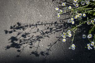 雑草の影を路面に映すの写真素材 [FYI04684195]