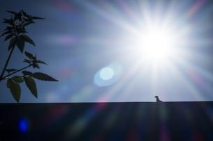眩しい太陽と佇む鳩の写真素材 [FYI04684196]