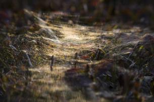 垣根に張られた蜘蛛の巣の写真素材 [FYI04684199]