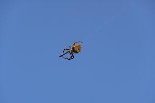 上空に糸を張るオニグモの写真素材 [FYI04684201]