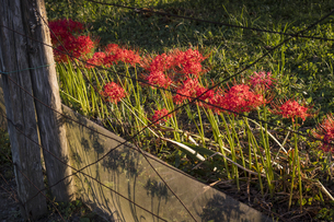 敷地際に咲いて夕日に映える彼岸花の写真素材 [FYI04684202]