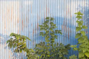 トタン屏と緑の葉の写真素材 [FYI04684204]