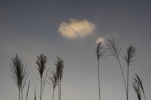 夕暮れのススキと雲一つの写真素材 [FYI04684205]