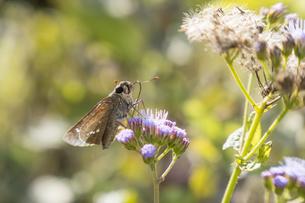 花の蜜を吸うチャバネセセリの写真素材 [FYI04684206]