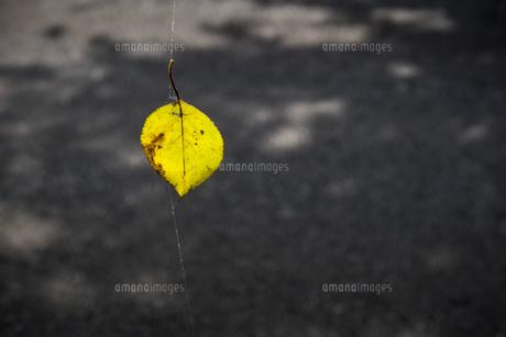蜘蛛の糸にかかる色づいた枯葉の写真素材 [FYI04684209]