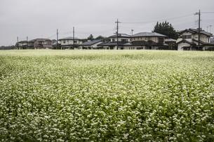 広大なソバ畑と住宅街の写真素材 [FYI04684212]