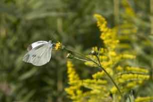 センダングサの花の蜜を吸うモンシロチョウの写真素材 [FYI04684219]