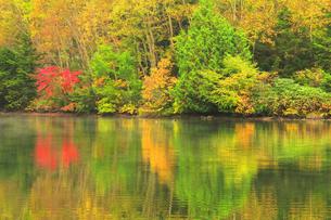 秋の志賀高原 三角池(みすみ池)にカモの写真素材 [FYI04684270]