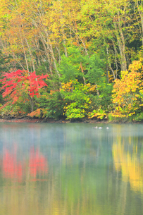 秋の志賀高原 三角池(みすみ池)にカモと靄の写真素材 [FYI04684272]