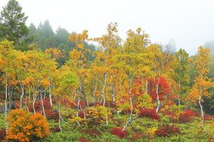 秋の志賀高原 田ノ原湿原と紅葉に霧の写真素材 [FYI04684276]