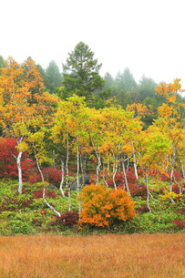 秋の志賀高原 田ノ原湿原と紅葉に霧の写真素材 [FYI04684280]