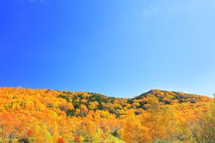 紅葉の森と快晴の空の写真素材 [FYI04684307]