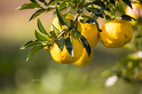 屋外で撮影した柚子の木とその実の写真素材 [FYI04684463]