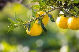 屋外で撮影した柚子の木とその実の写真素材 [FYI04684464]
