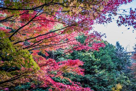 紅葉のある風景 長野県箕輪町のもみじ湖にての写真素材 [FYI04684721]