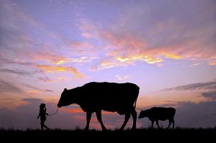 朝陽を背景に草原の牧場で牛の親子を曳く女の子のシルエットの写真素材 [FYI04685096]