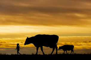 夕陽を背景に草原の牧場で牛の親子を曳く女の子のシルエットの写真素材 [FYI04685097]