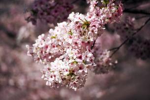桜・満開の大島桜の写真素材 [FYI04685353]