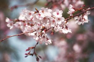 桜・染井吉野の開花の写真素材 [FYI04685355]