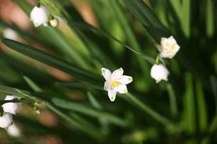スノーフレークの花の写真素材 [FYI04685358]