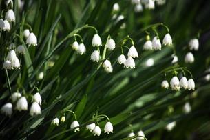 スノーフレークの花の写真素材 [FYI04685360]