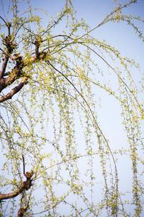 枝垂れ柳の新葉の写真素材 [FYI04685361]