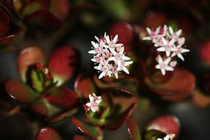 金のなる木の花咲くの写真素材 [FYI04685364]