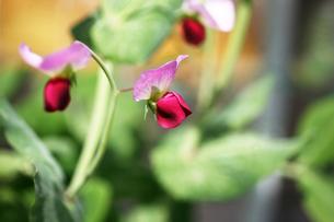 野菜・エンドウマメの花の写真素材 [FYI04685366]