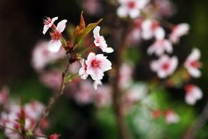 桜・小さなマメザクラの花の写真素材 [FYI04685369]