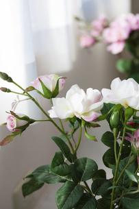 窓辺の観葉植物の写真素材 [FYI04685421]