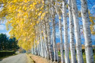 秋の白樺の写真素材 [FYI04685536]