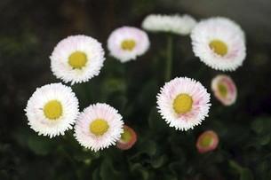 チロリアンデージーの花の写真素材 [FYI04685603]