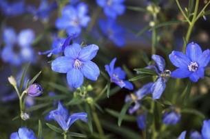 エキウムの青い花の写真素材 [FYI04685609]