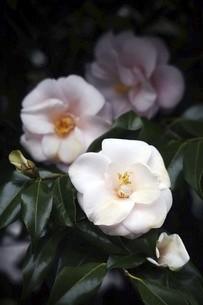 椿・春曙紅の花の写真素材 [FYI04685614]