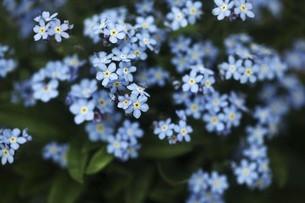 忘れな草の青い花の写真素材 [FYI04685618]