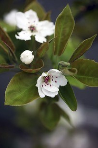 梨の白い花咲くの写真素材 [FYI04685620]
