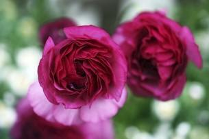 ラナンキュラスの花の写真素材 [FYI04685623]